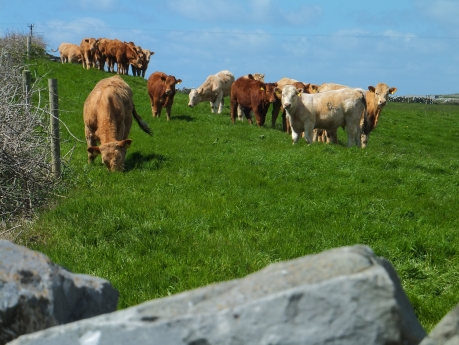 Cows in Doolin